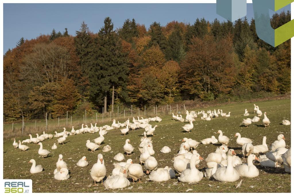 Gänse beim Biobauernhof